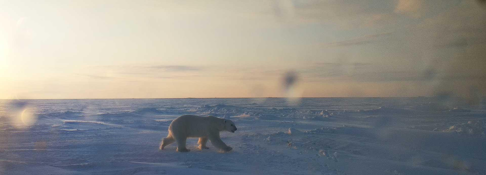 Polar Bear in Sabetta